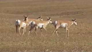 Pronghorn grouping in SW Saskatchewan