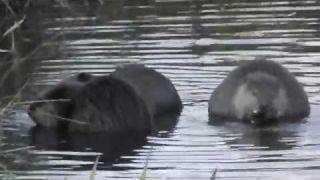 Beaver Family!