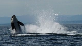 Orca whale watching Vancouver Island Canada