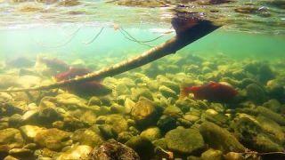 Adams River Sockeye Run 2014