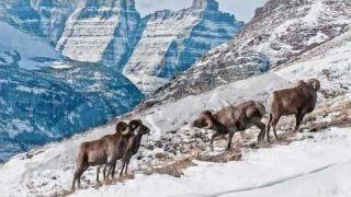 Elk, Bighorn Sheep, Buffalo Action Rocky Mountains, Glacier Park, Montana